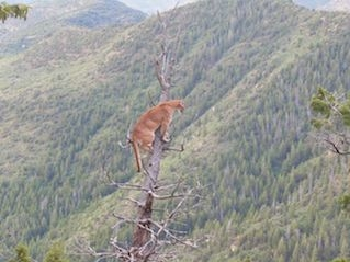 New mexico mountain lion hunts cougar hunts puma hunts for New mexico fishing license cost